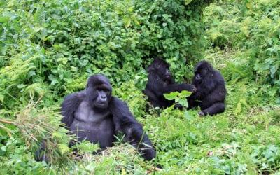 Africa: Gorilla Conservation