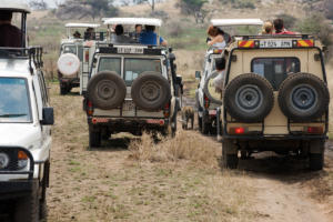 Lepard being overcrowded from safari vehicles
