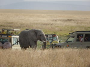Elephant, Serengeti NP, Tanzania