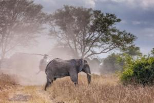Elephant being tranquilised from a helicopter as part of the relocation of 500 elephants in Malawi parks
